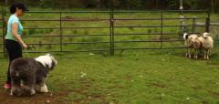 Rigby Herding 1