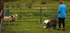 Rigby  Herding  2