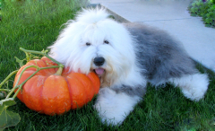 georgie-and-pumpkin-cropped02