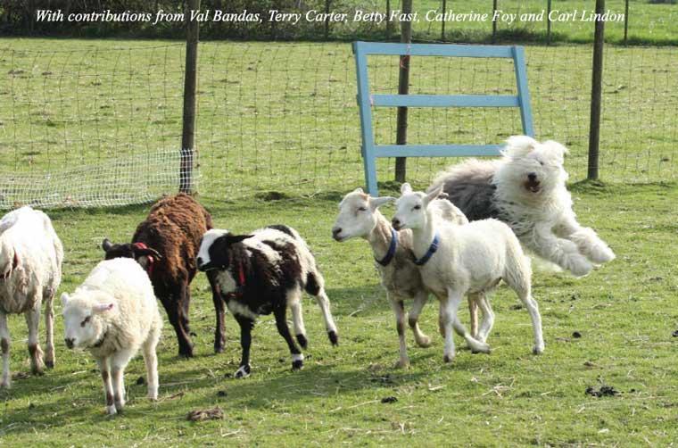 Old English Sheepdog Herding © Val Bandas